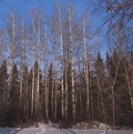 Poplar trees in winter stand of without leaves Stock Images