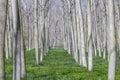 Poplars field Royalty Free Stock Photo