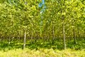 Poplars forest in po valley italy raws of Royalty Free Stock Photos