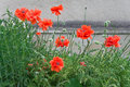 Poppies against the wall blooming scarlet gray plastered walls Stock Images