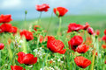 Poppies background . Stock Image