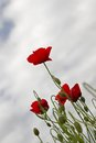 Poppies with background cloudy sky netherlands Stock Images
