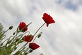 Poppies with background cloudy sky netherlands Royalty Free Stock Image