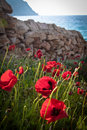 Poppies by the beach, portrait. Stock Photo
