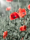 Poppies blooming field of red in the field Stock Photography