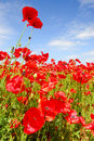 Poppies and blue sky in holland Stock Photo