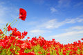 Poppies and blue sky in holland Royalty Free Stock Photo