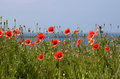 Poppies on the coast Stock Images