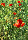 Poppies few on green meadow in nature Royalty Free Stock Images