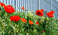 Poppies few meadow in front of a metal fence Stock Image
