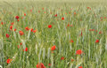 Poppies in a field Royalty Free Stock Photo