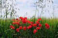 Poppies field of bright red Royalty Free Stock Images