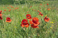 Poppies field flowers in green meadow Royalty Free Stock Photos