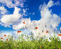 Poppies field over blue sky with sunshine Stock Images