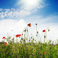Poppies field over blue sky with sunshine Stock Photos