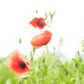 Poppies field over white background for design Stock Photography