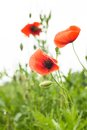 Poppies field over white background for design Royalty Free Stock Images