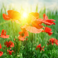 Poppies field in rays sun Royalty Free Stock Image