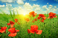 Poppies field in rays sun Stock Photography