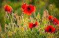 Poppies field red wild in sunny summer meadow Royalty Free Stock Images