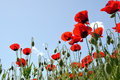 Poppies in field of with sky as background Royalty Free Stock Photos