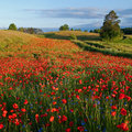 Poppies field in a sunny day with hills and forest in the background masuria Stock Photography