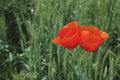 Poppies flower two red flowers in the green field Royalty Free Stock Images
