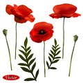 Poppies flowers realistic