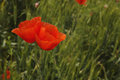 Poppies fresh flowers against green background Royalty Free Stock Images
