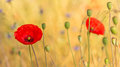 Poppies in front of a field flowers golden Stock Photography