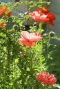 Poppies in garden oriental growing the Royalty Free Stock Images