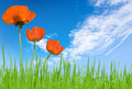 Poppies and grass with sky Royalty Free Stock Photos