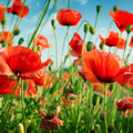 Poppies on green field Royalty Free Stock Image