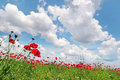 Poppies on green field Royalty Free Stock Photos