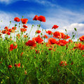 Poppies on green field red Royalty Free Stock Images