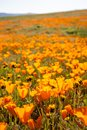 Poppies grow in a field during the California superbloom of wildflowers Royalty Free Stock Photo