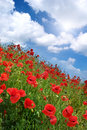 Poppies hill and sunny sky. Royalty Free Stock Image