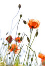 Poppies isolated on white Royalty Free Stock Photo