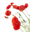 Poppies isolated on white background Royalty Free Stock Photo