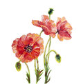 Poppies isolated on white oil painting Stock Photography