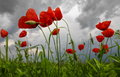 Poppies landscape Royalty Free Stock Photo