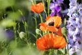 Poppies and larkspur blooming in a garden Royalty Free Stock Photography