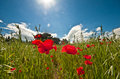 Poppies in an oat field of oats with with the sun and a blue sky with clouds Stock Photos