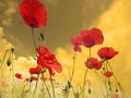 Poppies in perspective flowers meadow flowers meadow red sky yellow grass spring clouds Royalty Free Stock Image