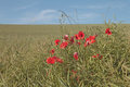 Poppies of picardy the landscape with france Royalty Free Stock Photo