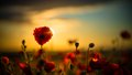 Poppies in Rape Seed Field Royalty Free Stock Photo