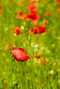 Poppies red against green blurred grass shallow depth of field Stock Photos