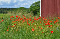 Poppies at red barn blossom a on the island oland in sweden Royalty Free Stock Photos