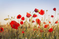 Poppies red in the field Royalty Free Stock Photography