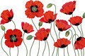 Poppies red isolated on white background Royalty Free Stock Images